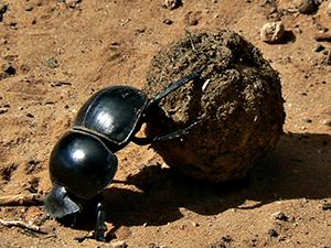 Dung Sisyphus