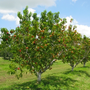 These are not mango trees.