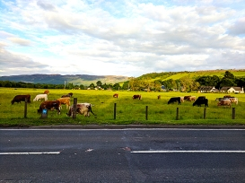 Please enjoy this picture of cows in the meadow alongside the road.