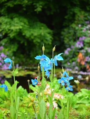Glen Grant: Blue flower
