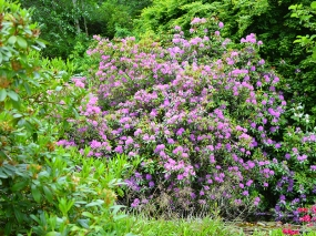 Glen Grant: Rhododendrons