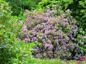 Glen Grant: Rhododendrons