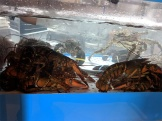 Lunasia, And in the crustacean tank