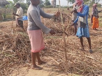 The ripened cane is cut and cleaned. The dried leaves along its length are sheared off with scythes. The cutting and cleaning is a laborious task, as the dried leaves are razor sharp, and small bits can get into your eyes and nose in a breeze. This process takes all day. Once cleaned, the stalks are tied into small bundles, and lined up near the juicer.